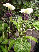 фото Такка травянистые домашние комнатные цветы и растения