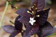 фото Эрантемум кустарники<noindex><a target=_blank  href=/go.php?url=http://gleep.ru/index2.php><big>домашние</big></a></noindex> комнатные цветы и растения