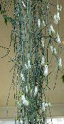 фото Церопегия ампельные домашние комнатные цветы и растения