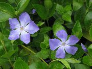 фото Барвинок ампельные домашние комнатные цветы и растения