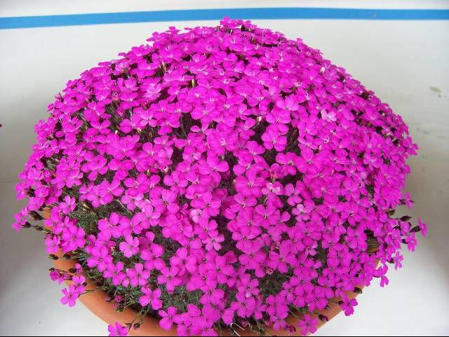 цветы домаш фото