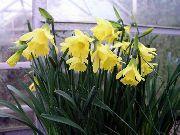фото Нарцисс травянистые домашние комнатные цветы и растения