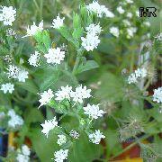 фото Стевия (Сладкая трава, Медовые листья) травянистые домашние комнатные цветы и растения