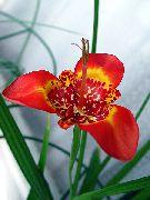 фото Тигридия  травянистые домашние комнатные цветы и растения