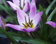 фото Тюльпан  травянистые домашние комнатные цветы и растения