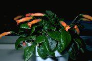 фото домашние цветы Геснерия , цвет оранжевый,
