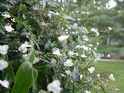 фото домашние цветы Гибазис, цвет белый,