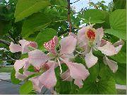 фото Баухиния (Орхидейное дерево) деревья домашние комнатные цветы и растения