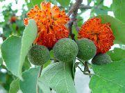 фото Бруссонетия Бумажное дерево деревья домашние комнатные цветы и растения
