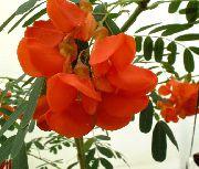 фото Сесбания  кустарники домашние комнатные цветы и растения