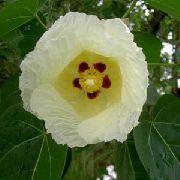 фото Теспезия  деревья домашние комнатные цветы и растения