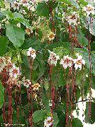 фото Строфантус лиана домашние комнатные цветы и растения