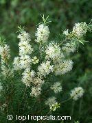 фото Мелалеука деревья домашние комнатные цветы и растения