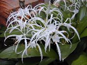 фото Гименокаллис <a target=_top  href=/search/карибский><big>карибский</big></a> травянистые домашние комнатные цветы и растения