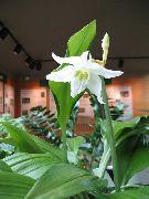 фото Эухарис (Амазонская лилия) травянистые<noindex><a target=_blank  href=/go.php?url=http://gleep.ru/index2.php><big>домашние</big></a></noindex> комнатные цветы и растения