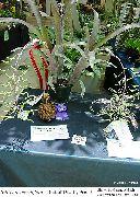 фото Бильбергия травянистые домашние комнатные цветы и растения
