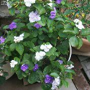фото Брунфельсия  кустарники домашние комнатные цветы и растения