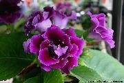 фото Синнингия  (Глоксиния) травянистые домашние комнатные цветы и растения