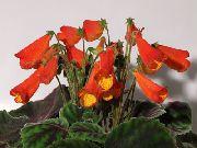 фото Смитианта травянистые домашние комнатные цветы и растения