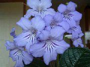 фото Стрептокарпус травянистые домашние комнатные цветы и растения