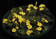 фото Эписция травянистые<noindex><a target=_blank  href=/go.php?url=http://gleep.ru/index2.php><big>домашние</big></a></noindex> комнатные цветы и растения