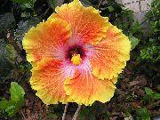 фото домашние цветы Гибискус (китайская роза), цвет оранжевый, Гибискус (китайская роза) - Hibiscus