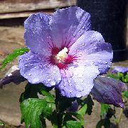 фото домашние цветы Гибискус (китайская роза), цвет сиреневый, Гибискус (китайская роза) - Hibiscus
