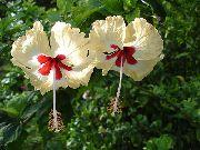 фото домашние цветы Гибискус (китайская роза), цвет желтый, Гибискус (китайская роза) - Hibiscus