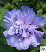 фото домашние цветы Гибискус (китайская роза), цвет голубой, Hibiscus - Blue Chiffon