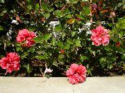 фото домашние цветы Гибискус (китайская роза), цвет розовый, Гибискус (китайская роза) - Hibiscus