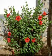 фото Гибискус (китайская роза) кустарники домашние комнатные цветы и растения