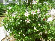 фото домашние цветы Гибискус (китайская роза), цвет белый, Гибискус (китайская роза) - Hibiscus