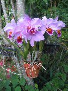 фото Дендробиум травянистые домашние комнатные цветы и растения