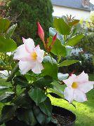 фото Дипладения ампельные домашние комнатные цветы и растения