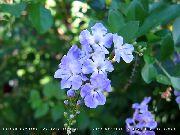 фото Дурантa деревья домашние комнатные цветы и растения