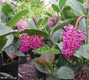 фото Мединилла кустарники домашние комнатные цветы и растения
