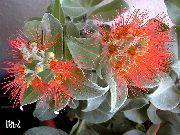 фото Метросидерос деревья домашние комнатные цветы и растения