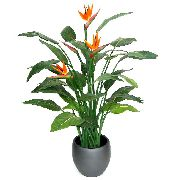 фото Стрелиция травянистые домашние комнатные цветы и растения