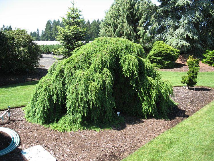 фото садовые декоративные деревья и кустарники Тсуга зеленые, Тсуга канадская - Тsuga canadensis.