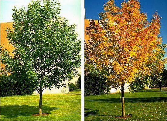 И кустарники ясень зеленые ясень