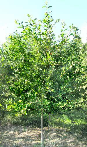 Деревья и кустарники нисса зеленые