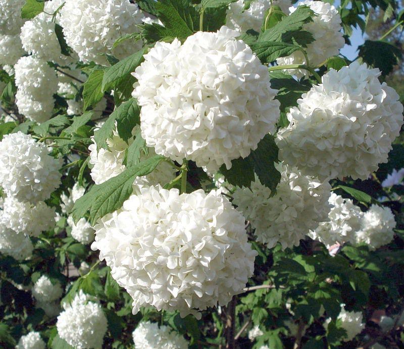 Красиво цветущие садовые кустарники