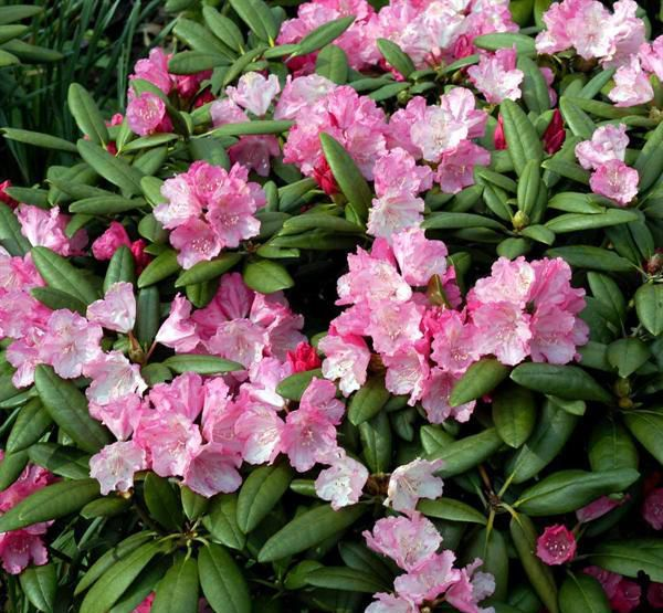 Flowering shrubs and trees Azaleas, Pinxterbloom Rhododendron.