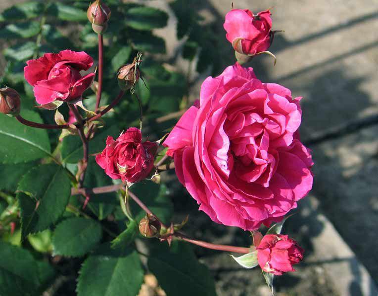 Розовые садовые цветы Парковые розы , кустарники и деревья, фото