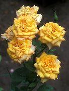 Цветы розы грандифлора желтые gold medal