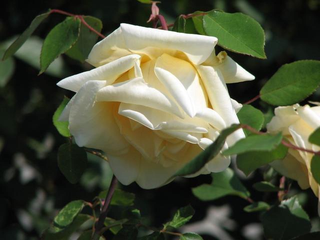Цветы желтые роза плетистая фото