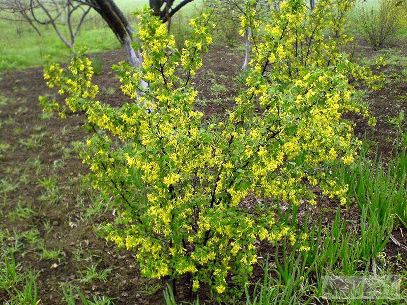 Цветы желтые смородина фото