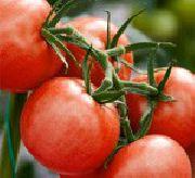 фото Халай F1 <a target=_top  href=/search/помидоры><big>помидоры</big></a> и томаты