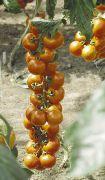 фото Увертюра-НК F1 помидоры и томаты