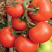 фото Ураган F1 помидоры и томаты